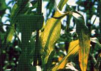 Corn magnesium deficiency
