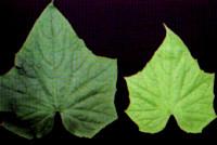 Nitrogen deficiency in cotton