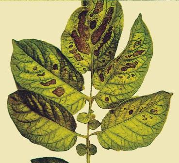 Magnesium deficiency in plants - Haifa Group