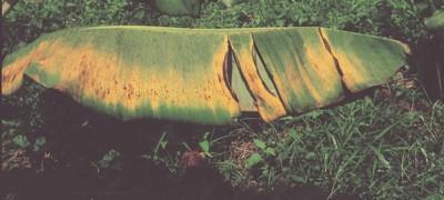Magnesium Deficiency in Banana