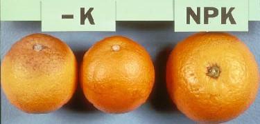 Deficiencia de potasio en citricos