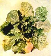 Magnesium Deficiency in Cabbage