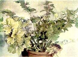 Magnesium Deficiency in Celery