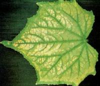Cucumber magnesium deficiency