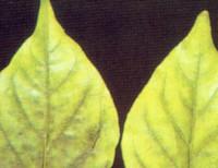 Magnesium Deficiency in Pepper