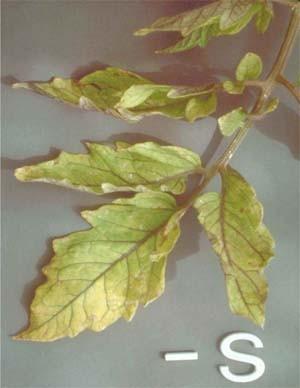 Sulfur deficiency in plants - Haifa Group