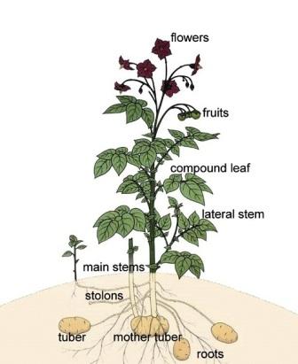 figure 1: a scheme of the potato plant