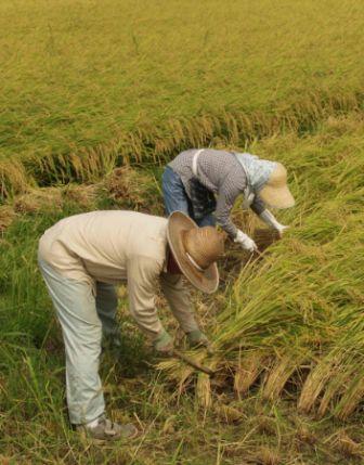platação de arroz