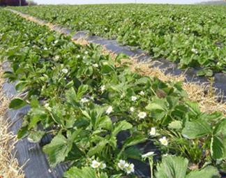 Growing Strawberry & How to grow Strawberry - Haifa Group