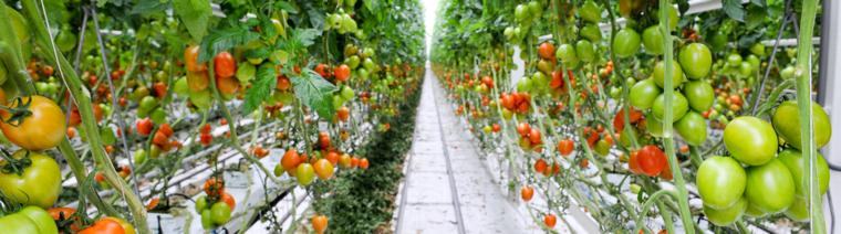 Tomato crop guide – Haifa Group