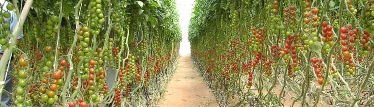 Growing Tomatoes & How to grow tomatoes - Haifa Group