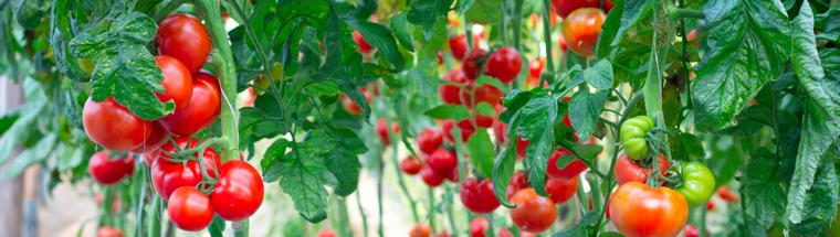 Tomato Fertilizer Recommendations - Haifa Group