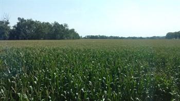 Jornada de campo sobre la fertilización del cultivo del maíz, con fertilizantes de liberación controlada de única aplicación en presiembra, en diferentes modalidades de siembra. (Seminsa – Haifa Iberia)