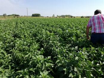 Óptimos resultados en la fertilización del pimiento al aire libre