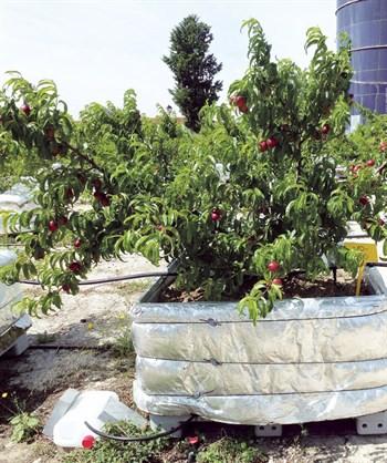 Uso de fertilizantes de liberación controlada en nectarina temprana (Prunus persica L.): efectos productivos y medioambientales (R. Isla, E.T. Medina, J. Escatín 2, J.M. Alonso)