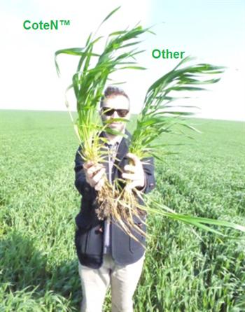 How did Balkan wild wheat growers overcome heavy rains?