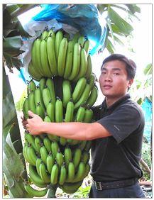 Multi K Fertilizer For Growing Banana Trees Haifa Group