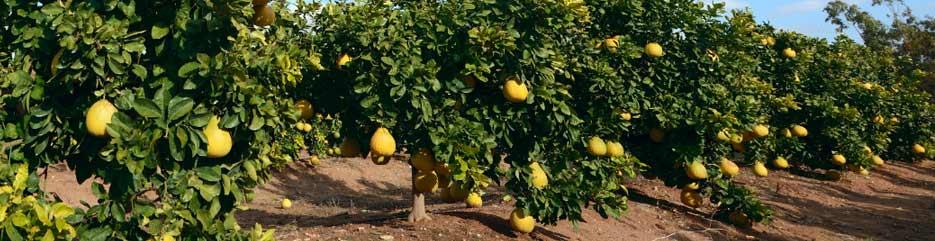 Kết quả hình ảnh cho Pomelo tree