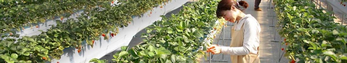 Strawberry Fertilization In The World Haifa Group
