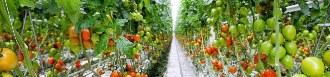 Nutrients for Tomato Plants - Haifa Group