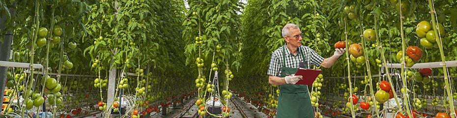 Tomato Fertilizer - Haifa Group