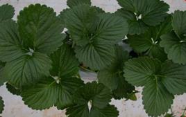 Strawberry Crop Guide - Haifa Group